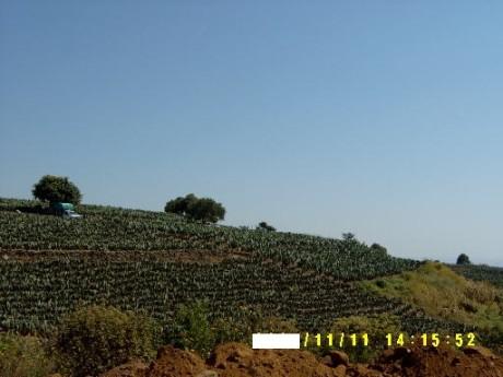 cultivo-de-nopal-2